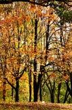 złoty jesień las zdjęcia royalty free