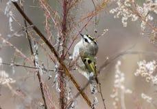 Złoty Koronowany mysikrólika ptak w zimie, Gruzja usa zdjęcie royalty free