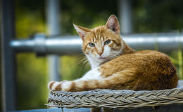 Złoty kota relaksować Obraz Royalty Free