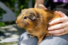 złoty królik doświadczalny Zdjęcia Royalty Free