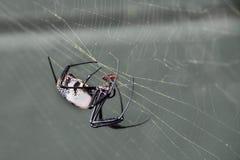 złoty krąg pająk Fotografia Stock