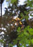 złoty krąg pająka weaver jedwab, Zdjęcie Stock