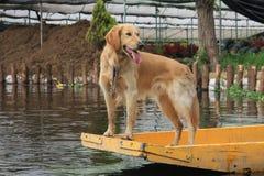 Złoty labrador na łodzi Obraz Stock