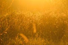 Złoty lekki jaśnienie puszek na trawy. /Golden świetle Zdjęcia Stock