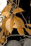 złoty liść obrazy stock
