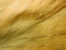 złoty liść martwa sucha stara konsystencja Obrazy Stock