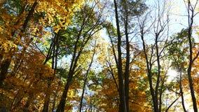 Złoty liścia klonowego whith słońca promień zbiory wideo