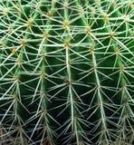 Złoty lufowego kaktusa zakończenie up Obrazy Stock