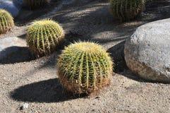 Złoty lufowy kaktus Zdjęcie Stock