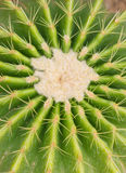 Złoty Lufowy kaktus. Obrazy Stock