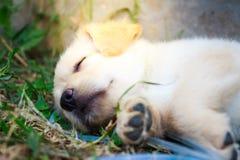 Złoty mały szczeniaka lying on the beach na gazonie Obrazy Royalty Free