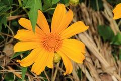 Złoty Meksykański słonecznik Obrazy Royalty Free