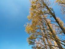 Złoty Metasequoia las z niebieskim niebem w Yangming górze, Tajwan zdjęcie stock