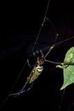 Złoty okrąg sieci pająk Obrazy Stock