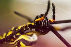 Złoty okrąg sieci pająk Zdjęcie Royalty Free