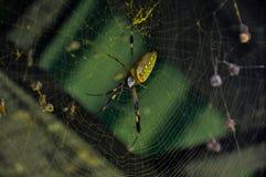 Złoty okręgu pająk w Corcovado parku narodowym, Costa Rica Fotografia Royalty Free