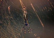 Złoty okręgu pająk w jej sieci Obrazy Royalty Free