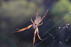 złoty okręgu pająka tkactwo Fotografia Stock