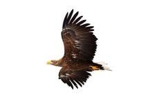 złoty orła latanie Obrazy Royalty Free