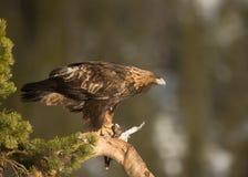 Złoty orzeł (Aquila chrysaetos) Zdjęcia Royalty Free