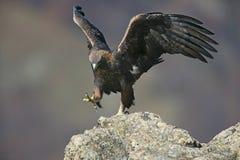 Złoty orzeł, Aquila chrysaetos fotografia stock
