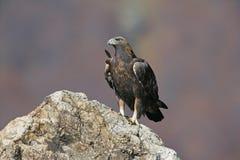 Złoty orzeł, Aquila chrysaetos fotografia royalty free