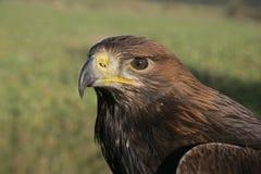 Złoty orzeł, Aquila chrysaetos zdjęcia stock