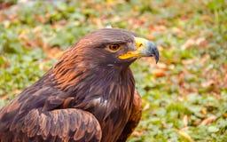 Złoty orzeł, orzeł sowa, ptak zdobycz, ptak, myśliwy, sokolnictwo, natura, zwierzęta, belfer, oczy, skrzydła, Obraz Stock