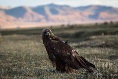Złoty orzeł siedzi w stepie na tle Mongolskie góry Natura Fotografia Stock