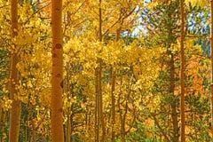Złoty osikowy las iluminujący słońcem Obraz Royalty Free