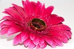 Złoty pierścionek na gerber Fotografia Royalty Free
