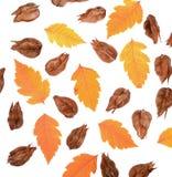 Złoty Podeszczowego drzewa ziarno połuszczy koelreuteria paniculata Fotografia Royalty Free