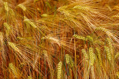 złoty pola żyto zdjęcie royalty free