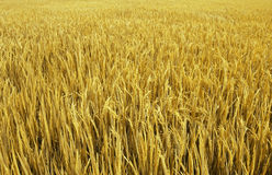 złoty pola zdjęcia stock