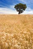złoty pola drzewo zdjęcie royalty free