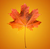 Złoty pomarańcze i czerwieni liść klonowy na miękkim pomarańczowym tle Piękny jesień liść klonowy odizolowywający Fotografia Royalty Free