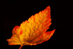 Złoty porzeczkowy liść Zdjęcie Stock