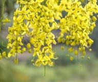 Złoty prysznic kolor żółty Zdjęcia Royalty Free