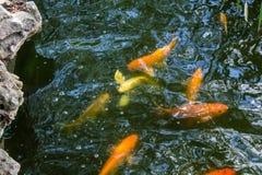 Złoty Pstrągowy podwodny zdjęcie royalty free