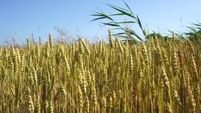 Złoty pszenicznego pola szeroki strzał zdjęcie wideo