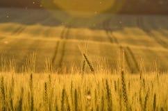 Złoty pszeniczny pole i słoneczny dzień zdjęcie royalty free