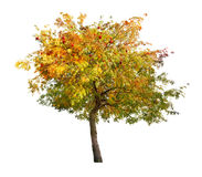 Złoty rowan drzewo z czerwonymi jagodami Zdjęcie Royalty Free