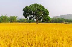 Złoty ryż trzy drzewa Zdjęcia Stock