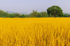 Złoty ryż trzy drzewa Zdjęcia Royalty Free