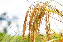 Złoty ryżu pole Obrazy Stock