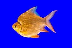 złoty ryb Zdjęcie Royalty Free
