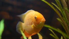 Złoty rybi dopłynięcie w szklanym zbiorniku z zieloną rośliną wodną Rama Zakończenie dla zadziwiającego goldfish ogonu z i twarzy obraz royalty free