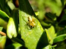 Złoty rysia pająk Zdjęcie Royalty Free