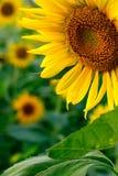 złoty słonecznik Zdjęcia Royalty Free