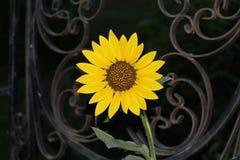 złoty słonecznik Zdjęcia Stock